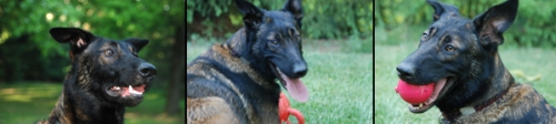 Living with a Belgian Malinois