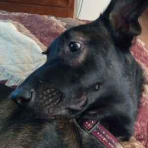 Are You Awake - Living with a Malinois